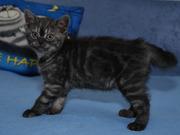 Британский котенок (мальчик) окраса черный дым