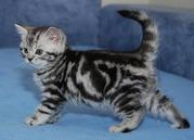 Киевский питомник предлагает британских котят окраса вискас
