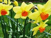 Продам сортовые крупные  нарцисы желтые и белые-1 грн