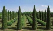 Деревья декоративные для озеленения