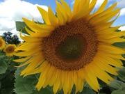Продам семена подсолнечника под гранстар ПРО229су