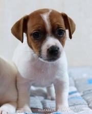 Великолепный щенок Джек Рассел терьера от лучших представителей породы