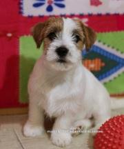 Джек рассел терьер - роскошные щенки из питомника HEAVENLY-BLESSING