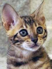 Бенгальские котята от завозных родителей