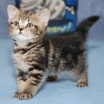 Питомник предлагает британского котенка черный мрамор