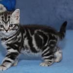 Питомник предлагает британского котенка окраса черный мрамор на серебре