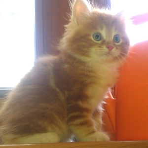 курильский бобтейл котята от родителей-чемпионов