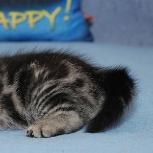 Питомник предлагает британских котят окраса черный мрамор на серебре