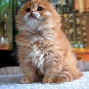 Шотландский котик хайленд фолд Джонатан