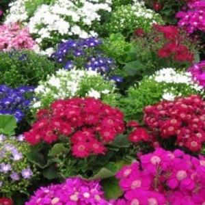 Теплица предлагает горшочные цветы  для продажи к 8 Марта