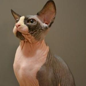 Подрощенные котята канадского сфинкса. Доставка в любой регион.