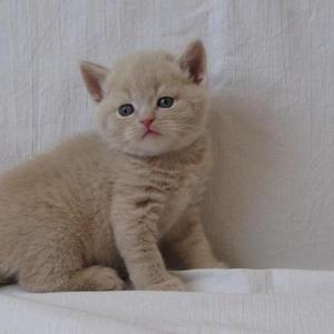 Кремовый шотландский котенок