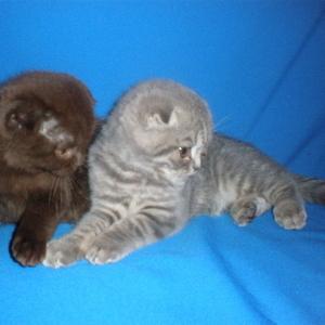Шотландские котята редких окрасов
