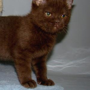 Британский шоколадный кот,  носитель окраса циннамон.
