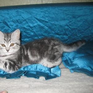 Шотландские вислоухие котята,  черный мрамор на серебре и бел