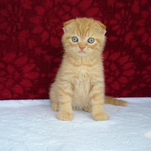 Шотландские вислоухие котята мраморных окрасов
