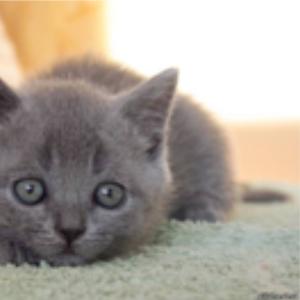 котята скоттиш-фолд и скоттиш-страйт