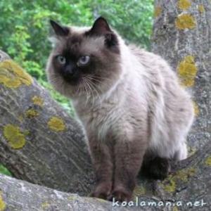Красавец - Кот невский маскарадный (колор поинт) предлагает вязку