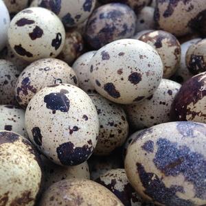 Продам суточных перепелов,  перепелиные яйца