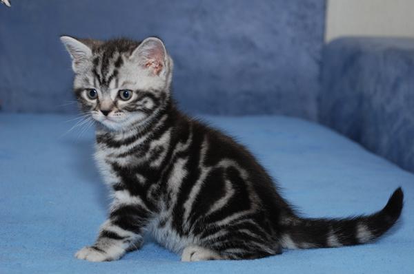 Питомник предлагает британского котенка окраса черный мрамор на серебре 2