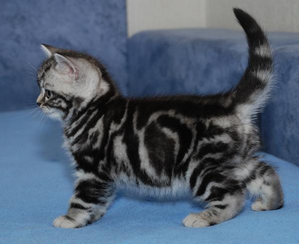 Питомник предлагает британского котенка окраса черный мрамор на серебре 3