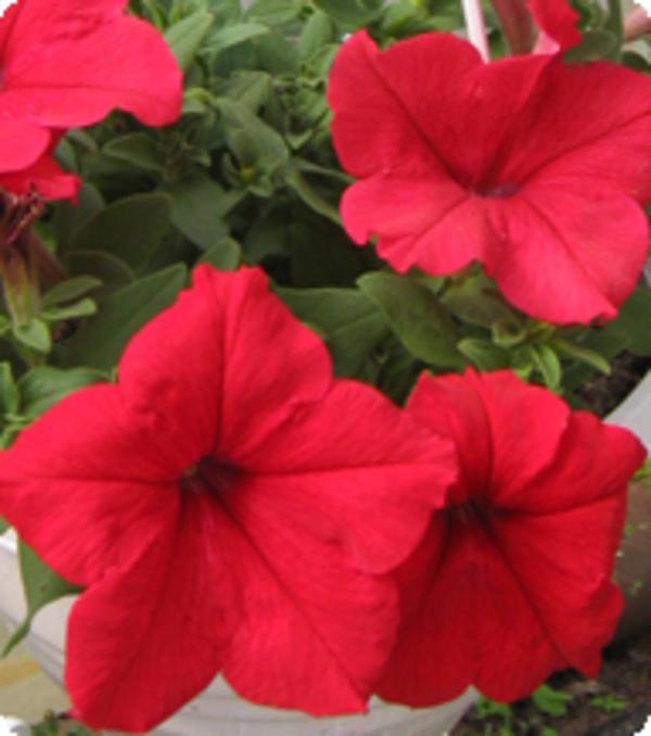 Теплица предлагает горшочные цветы  для продажи к 8 Марта 2