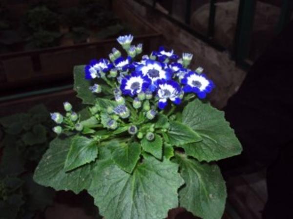 Теплица предлагает горшочные цветы  для продажи к 8 Марта 3