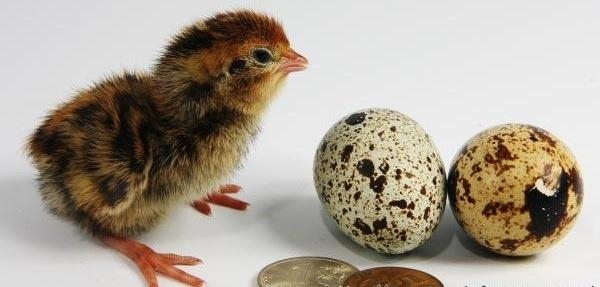 Перепелиные яйца,  суточные перепела опт