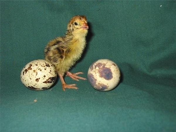 Перепелиные яйца,  суточные перепела опт 2