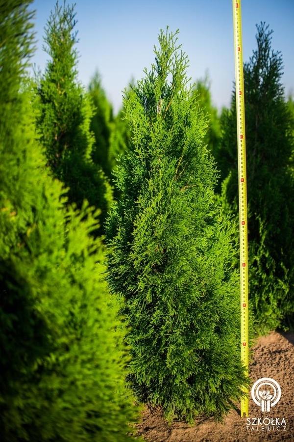 Декоративні рослини і трави високої якості оптом з розплідника 3