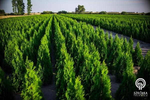 Декоративні рослини і трави високої якості оптом з розплідника 2