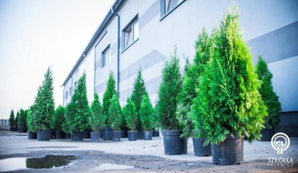 Декоративні рослини і трави високої якості оптом з розплідника 4