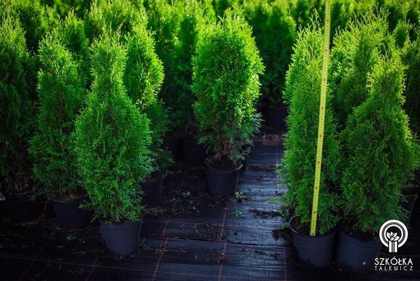 Декоративні рослини і трави високої якості оптом з розплідника 7
