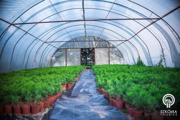 Декоративні рослини і трави високої якості оптом з розплідника 9