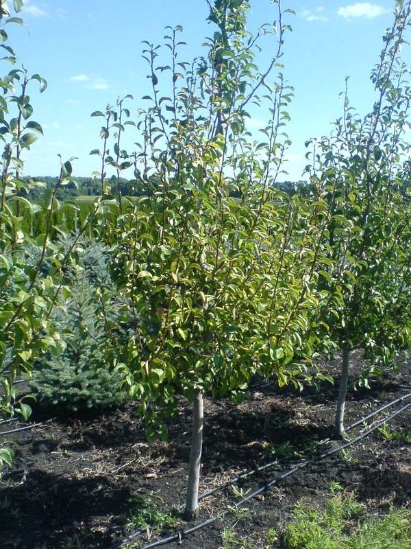 деревья,  саженцы , кустарники. 2