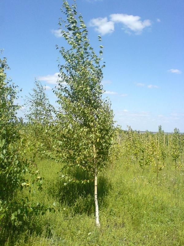 деревья,  саженцы , кустарники. 4