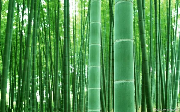 Cемена морозостойкого гигантского бамбука Моссо (Phyllostachys moso)