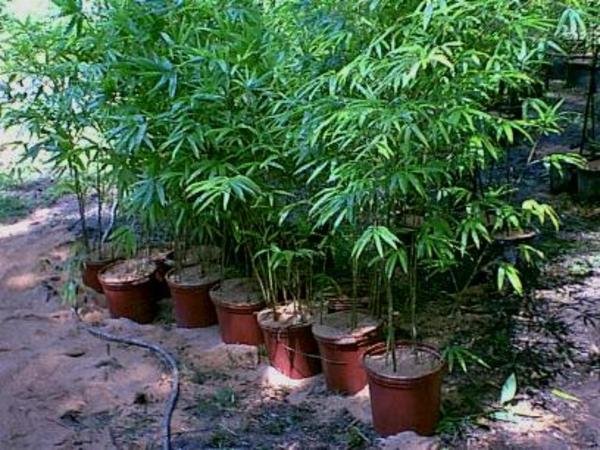 Cемена морозостойкого гигантского бамбука Моссо (Phyllostachys moso)  4
