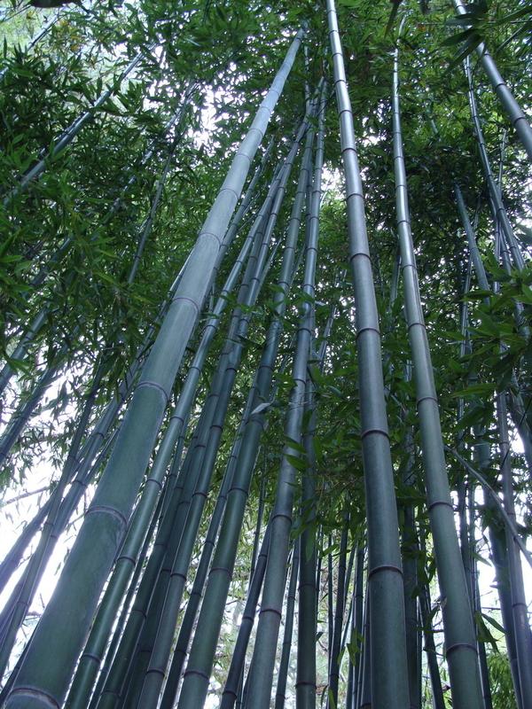 Cемена морозостойкого гигантского бамбука Моссо (Phyllostachys moso)  5