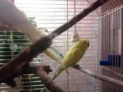 Продам молоденьких птенцов (1 месяц) волнистого попугая
