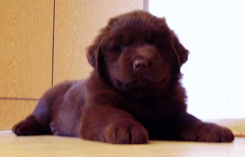 Куплю щенка ньюфаундленда собаки