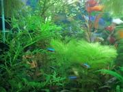 Продаю аквариумные растения и рыбок