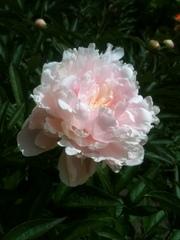 Продам рассаду: хризантемы, пионы, канны,  ирисы, лилии, розы, гортензии, фиа
