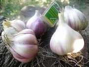 Продам семена чеснока оптом