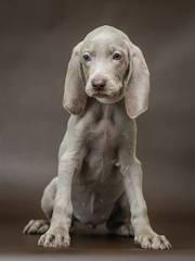 Продам щенков породы Веймаранер (нем. Weimaraner)