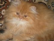 продам котят персов пушистые котята-игривые
