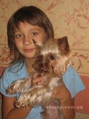 Красивейший кукольный щенок йоркширского терьера,