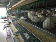Инкубационные яйца. Куриные и перепелиные