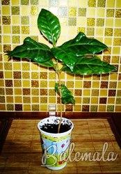Продажа саженцев кофейного дерева,  сорт