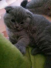 Шотландские котята (скотиш фолд и страйт)